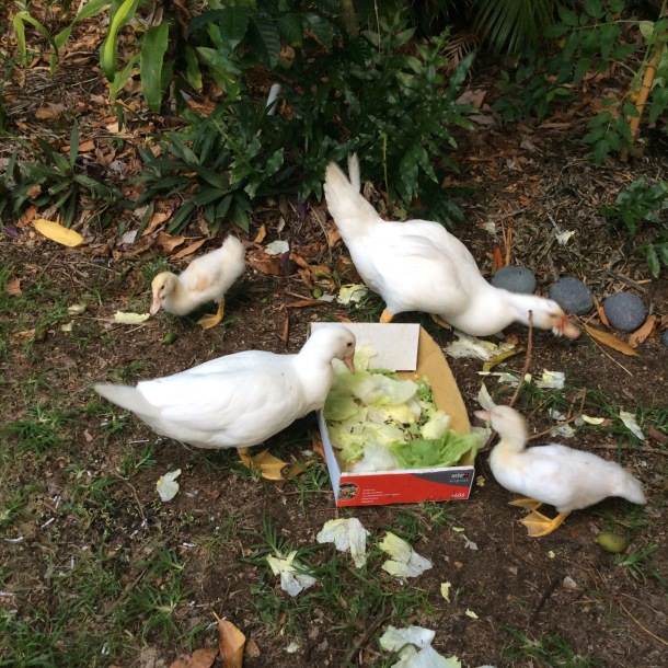 Our Muscovy ducks enjoying their favourite food, lettuce