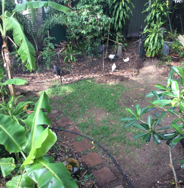 The ducks and chooks in their new enclosure, under the coffeebush and mango tree